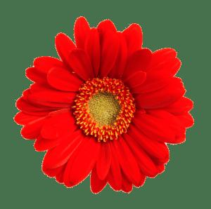 Blume frei rot