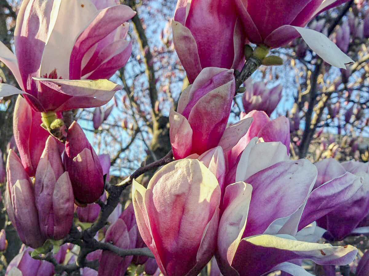 Magnolie rosa weiss