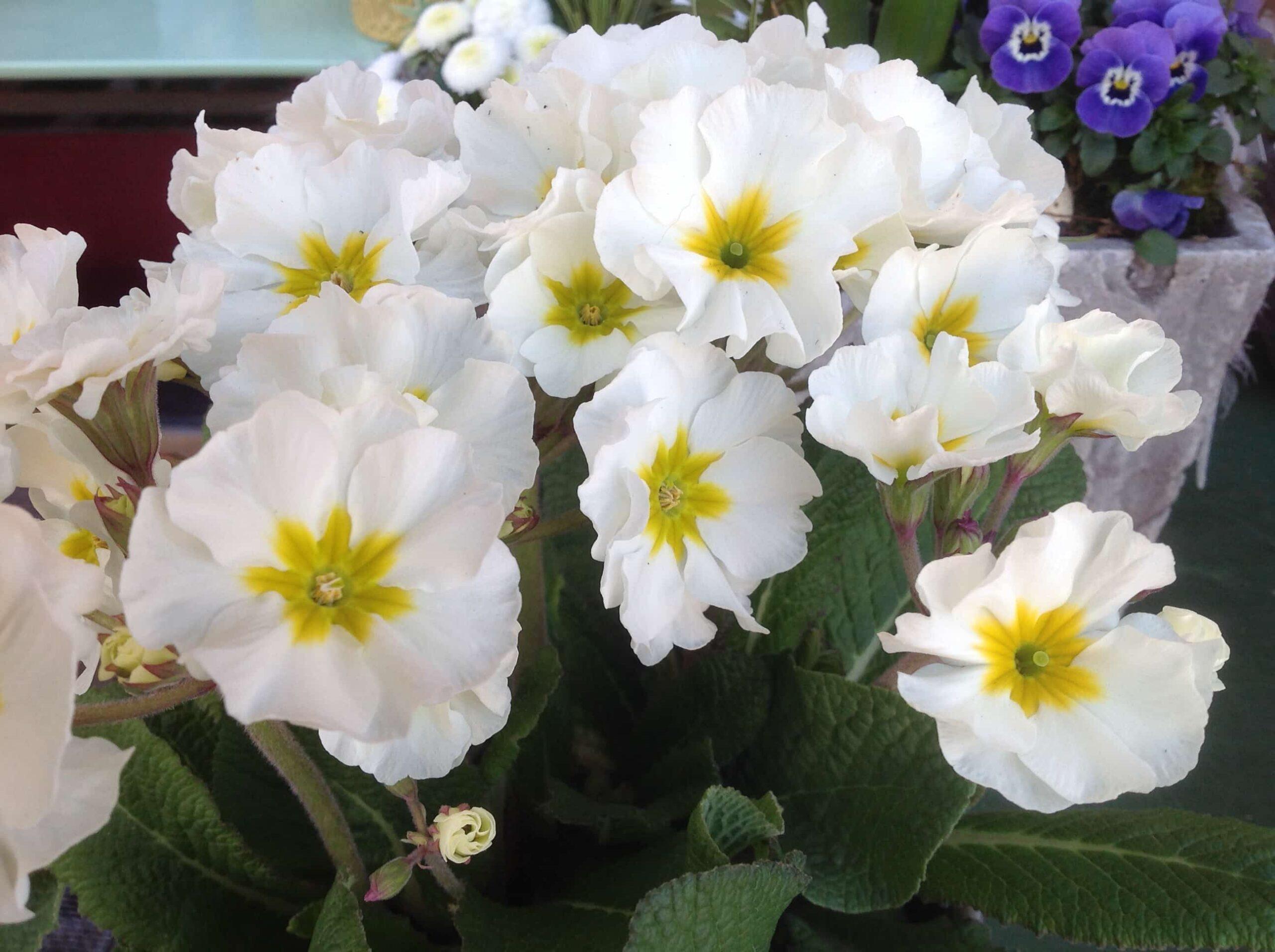 Blumen Magnolia Foto 18.03.20, 11 15 12