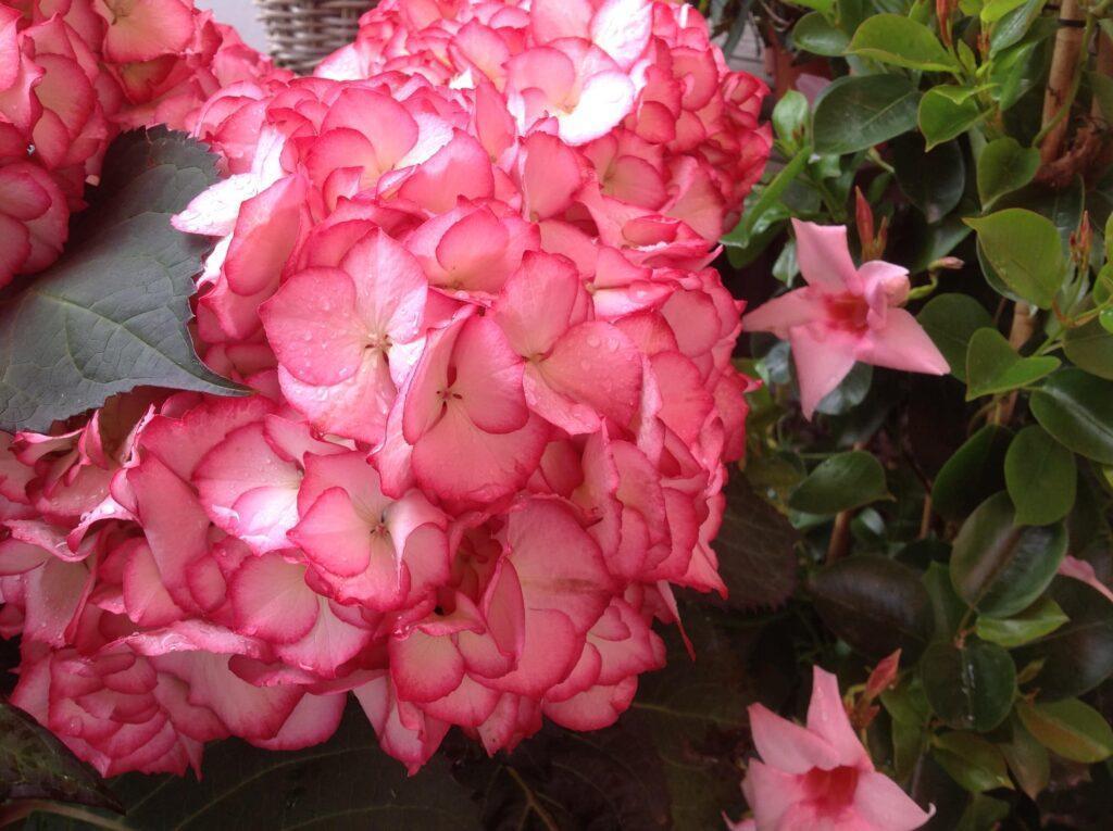 Blumen Magnolia Foto 25.05.19, 09 31 55