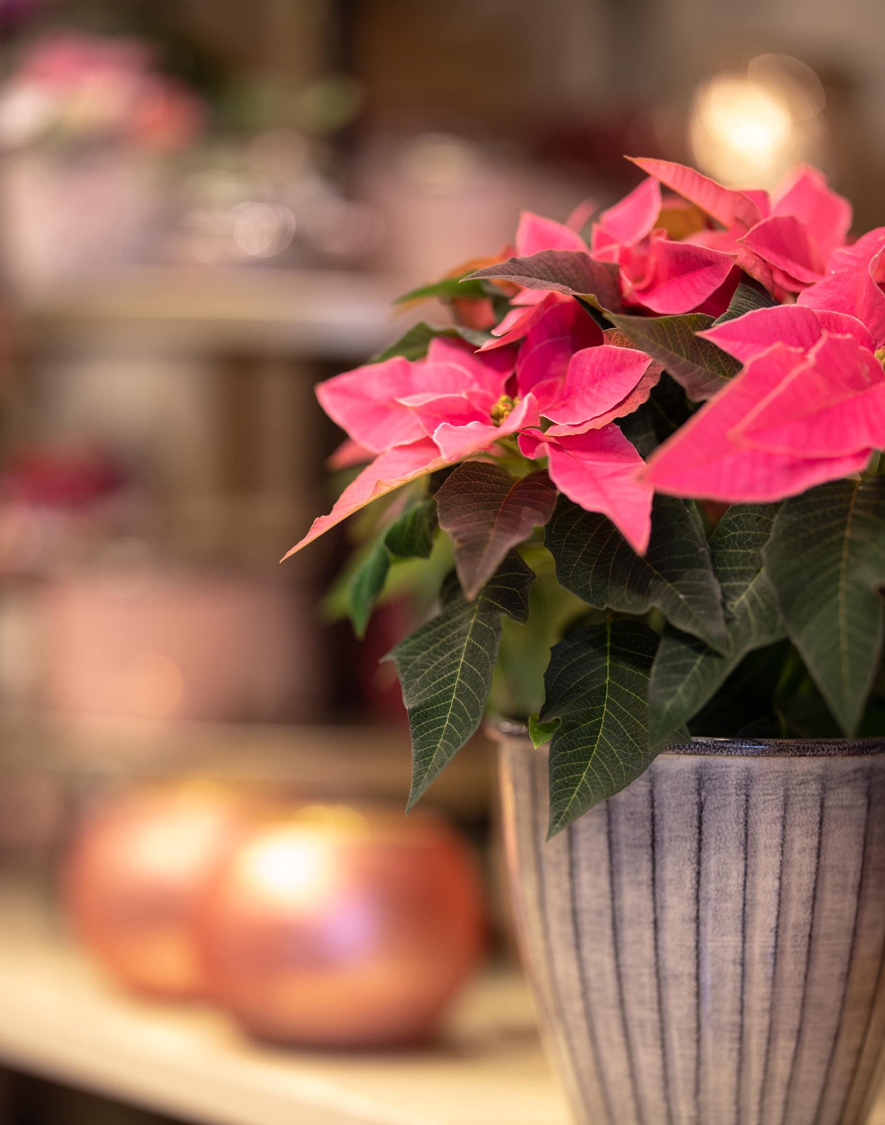 Blumen Magnolia Weihnachtssterrn