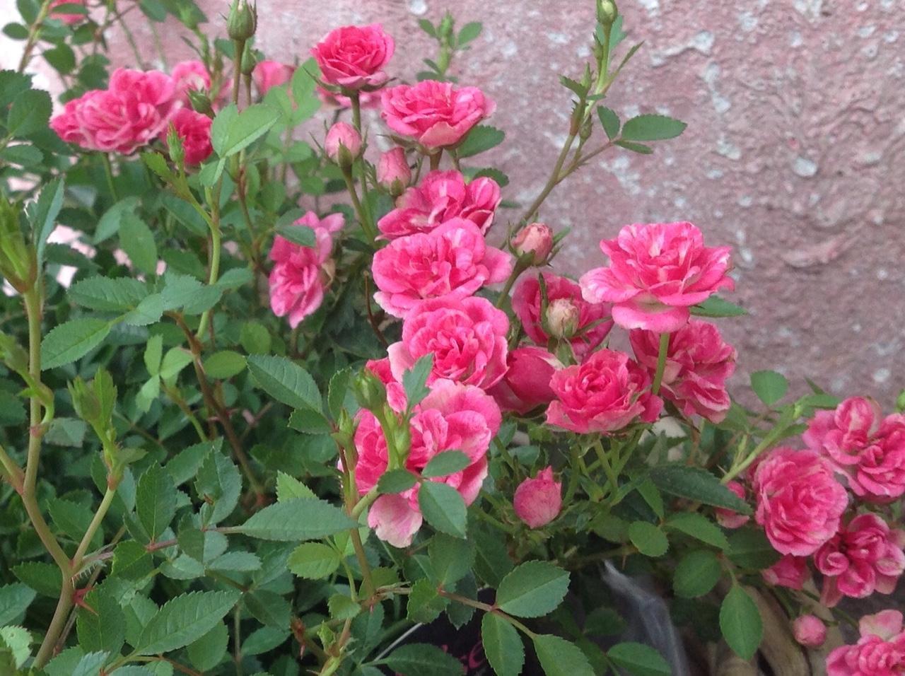 Blumen Magnolia_13