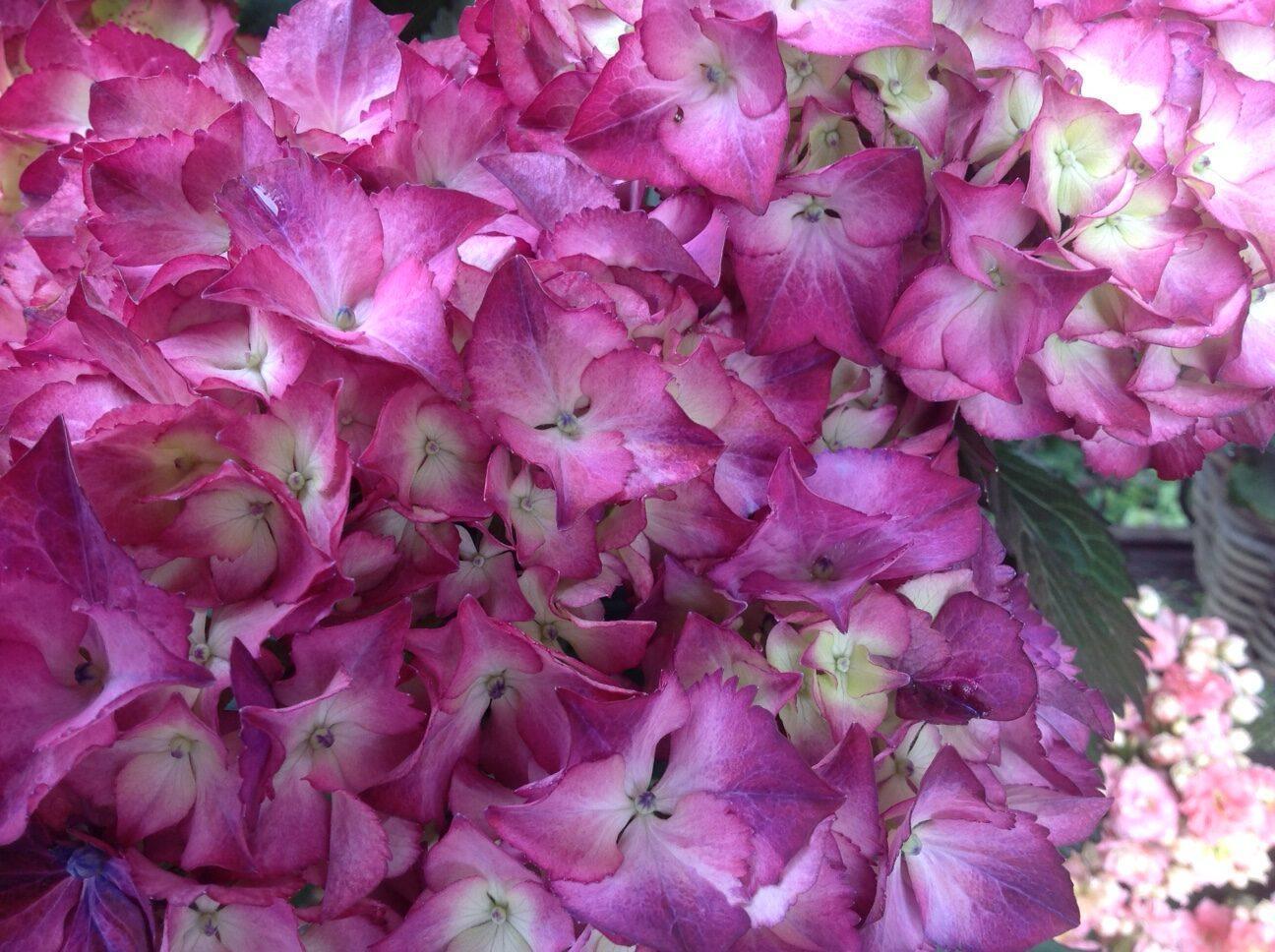 Blumen Magnolia_14